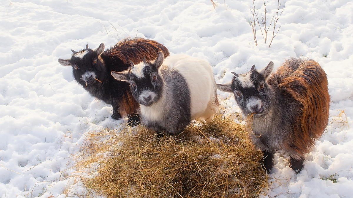 Goats for granola